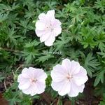 Geranium sanguineum Striatum (2)