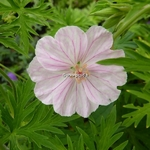 Geranium sanguineum Striatum (3)