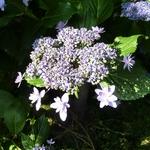 Hydrangea macrophylla Izu no Hana