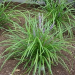 Liriope exiliflora