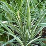 Liriope spicata Silver Dragon