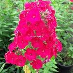 Phlox Red Flame