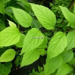 Celtis occidentalis (3)