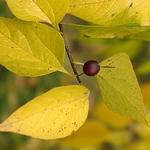 Celtis occidentalis (2)