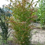 Cercidiphyllum japonicum (2)