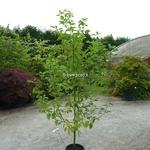 Cinnamomum camphora (5)