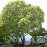 Cinnamomum camphora (4)