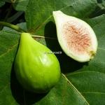 Ficus carica Goutte d'Or (1)