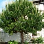 Pinus pinea (2)