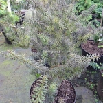 Podocarpus lawrencii Purple King (2)