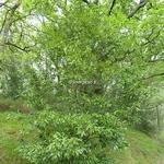 Quercus glauca (3)