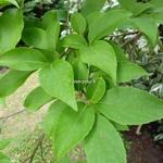 Stewartia sinensis (5)