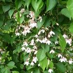 Styrax japonicus Benibana Pendula (4)