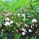 Styrax japonicus Pendula Rosea