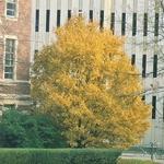 Acer campestre (3)