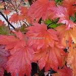 Acer japonicum Vitifolium (5)