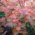 Acer japonicum Vitifolium (3)