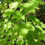 Acer japonicum Vitifolium (2)