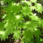 Acer japonicum Vitifolium (1)