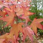 Acer oliverianum (1)