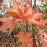 Acer oliverianum (3)