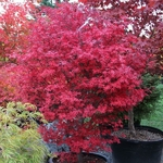 Acer palmatum Brandts Dwarf (7)