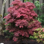 Acer palmatum Brandts Dwarf (6)