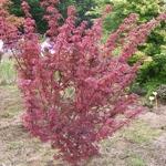 Acer palmatum Brandts Dwarf (9)