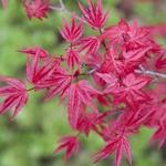 Acer palmatum Deshojo (2)