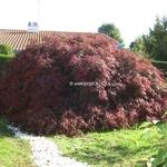 Acer palmatum dissectum Garnet (tosse) (1)