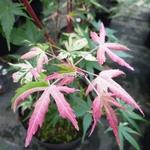 Acer palmatum Orido Nishiki (4)