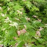 Acer palmatum Orido Nishiki (2)
