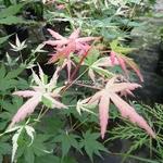 Acer palmatum Orido Nishiki (5)
