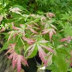 Acer palmatum Orido Nishiki