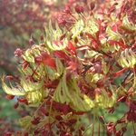 Acer palmatum Roseo Marginatum