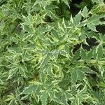 Acer palmatum Roseomarginatum (1)