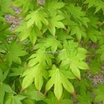 Acer palmatum Tsuma Gaki (2)