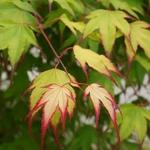 Acer palmatum Tsuma Gaki
