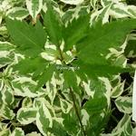 Acer palmatum Wabito (4)
