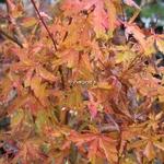 Acer palmatum Wabito (6)