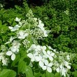 Hydrangea paniculata Confetti (1)