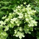 Hydrangea paniculata Pastel Green (3)