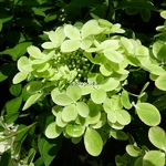 Hydrangea paniculata Pastel Green (1)