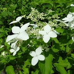Hydrangea paniculata Starlight (2)