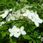 Hydrangea paniculata Starlight (1)