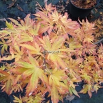 Acer palmatum Aratama