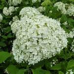 Hydrangea arborescens Puffed Green (3)