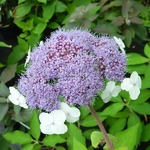 Hydrangea aspera Macrophylla (2)