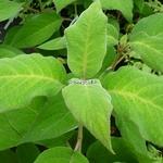 Hydrangea aspera Macrophylla (4)