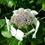 Hydrangea macrophylla Angel Light (2)